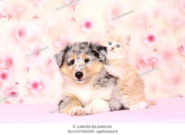 Selkirk Rex and American Collie. Kitten (6 weeks old) cuddling up to a puppy . Studio picture seen against a light background with Cherry flower print
