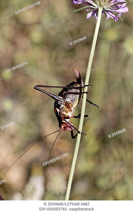 Barbitistes fischeri, Saw-talled Bush cricket