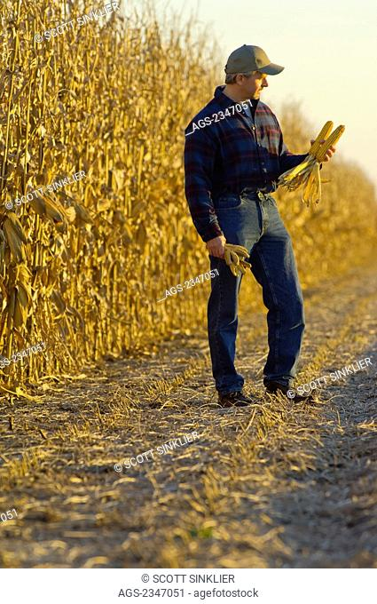 Agriculture - A farmer inspects mature ears of grain corn in the field with his partially harvested corn crop in the background / Iowa, USA