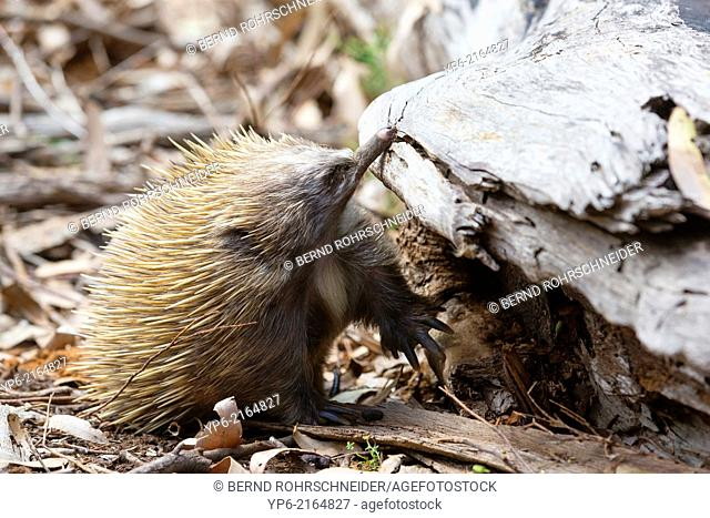 Short-beaked Echidna (Tachyglossus aculeatus) foraging in forest, Kangaroo Island, South Australia, Australia