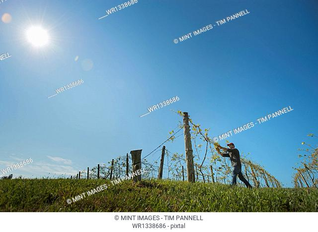 A vineyard with young vines being trained along wires to produce a good grape harvest