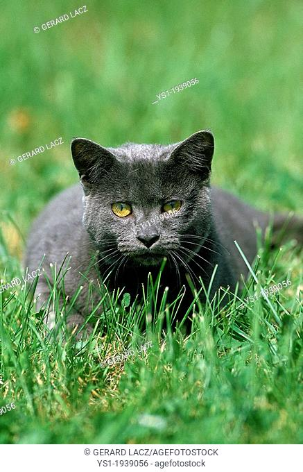 Blue Domestic Cat laying on Grass