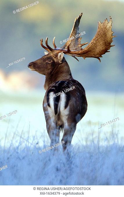 Fallow Deer Dama dama, Buck Alert during the Rut, Royal Deer Park, Klampenborg, Copenhagen, Sjaelland, Denmark