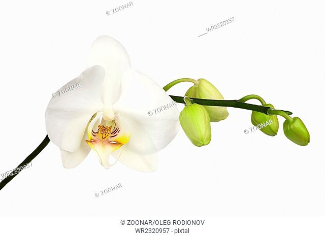 Two day old white orchid isolated on white background
