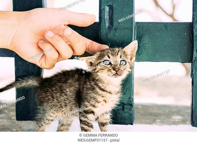 Man's hand petting a tabby kitten
