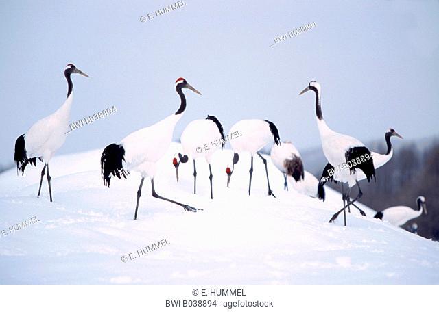 Manchurian crane (Grus japonensis), group in snow, Japan, Hokkaido