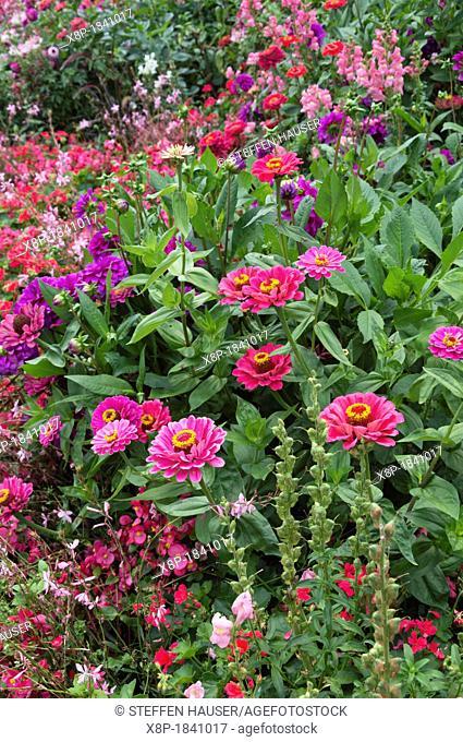 Zinnia and begonias Begonia