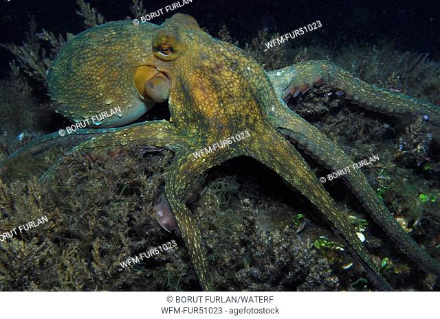 Common Octopus foraging, Octopus vulgaris, Susac Island, Adriatic Sea, Croatia