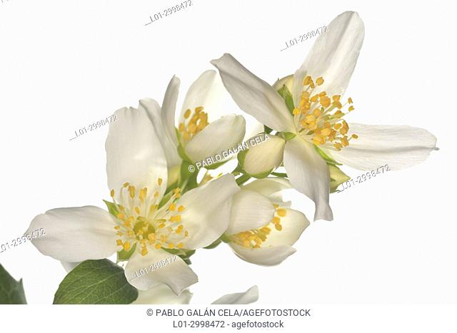 Philadelphus coronarius, celinda, on white