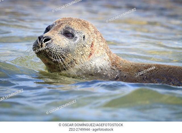 Harbor Seal (Phoca vitulina) looking out of water. Blakeney National Nature Reserve. Norfolk. England. UK