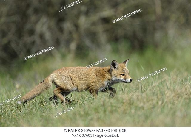 Curious cub of Red Fox ( Vulpes vulpes ) exploring his environment, wildlife, Europe.