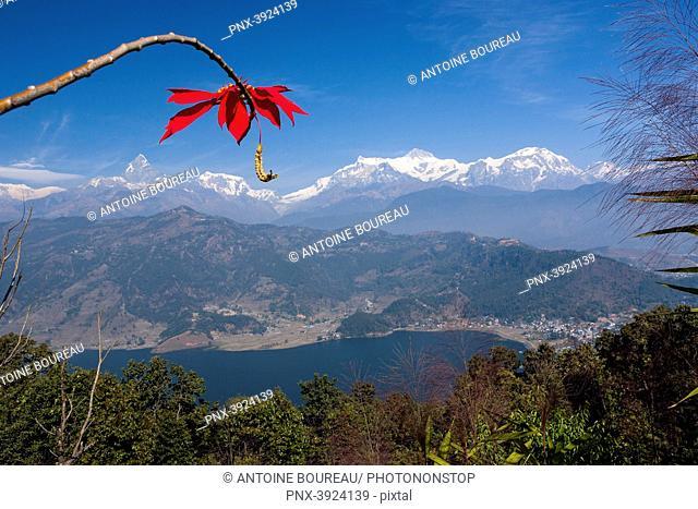 Poinsettia in front of Machapuchare Annapurna, Pokhara, Nepal