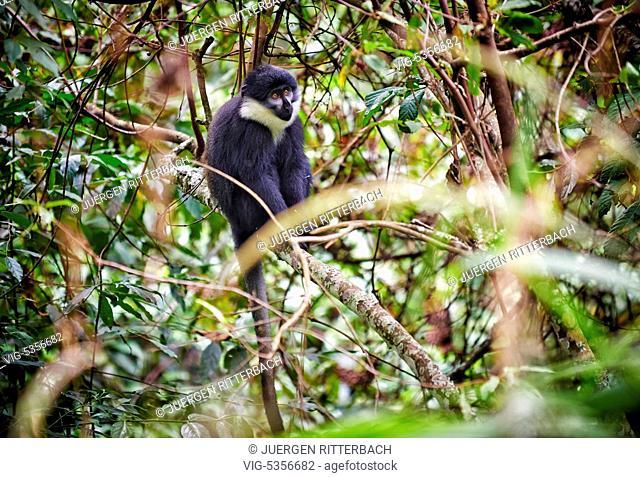 UGANDA, RUHIJA, 18.02.2015, L¿ÄôHoest¿Äôs monkey, Cercopithecus lhoesti, Bwindi Impenetrable National Park, Uganda, Africa - Ruhija, Uganda, 18/02/2015