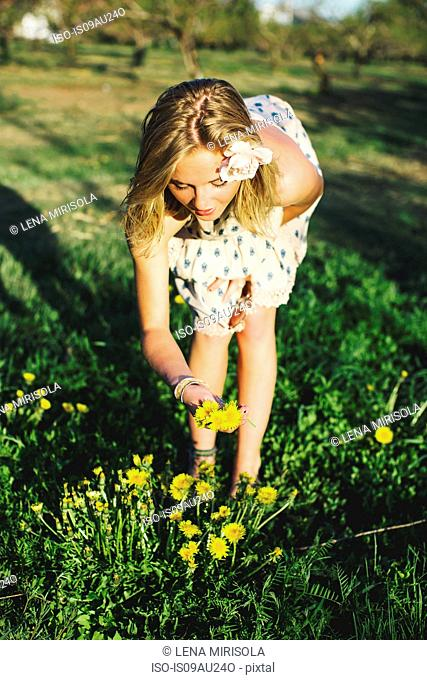 Front view of young woman bending over picking bunch of dandelion flowers