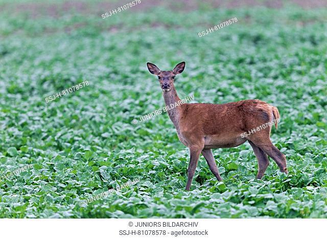 Red Deer (Cervus elaphus). Hind foraging in a beet field. High Tatra, Slovakia