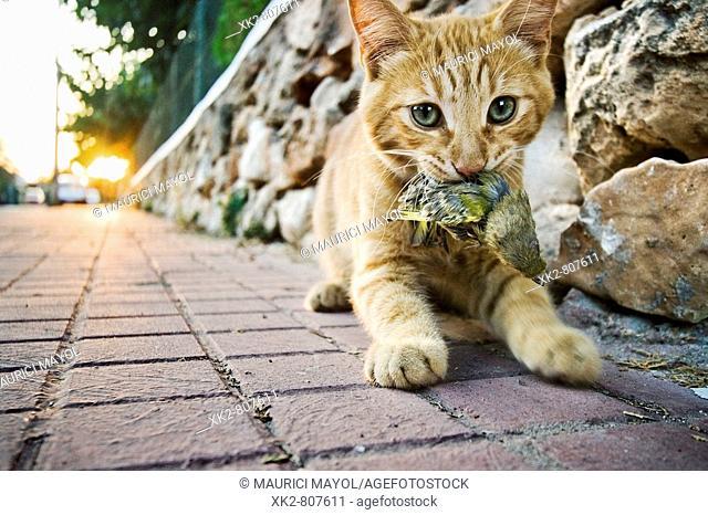 Pájaro cazado por la boca de un gato