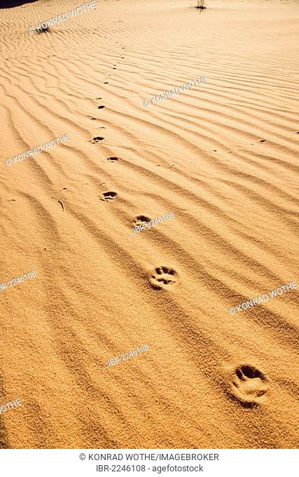 Traces of a fennec fox (Canis zerdus) in the Libyan Desert, Libya, Africa