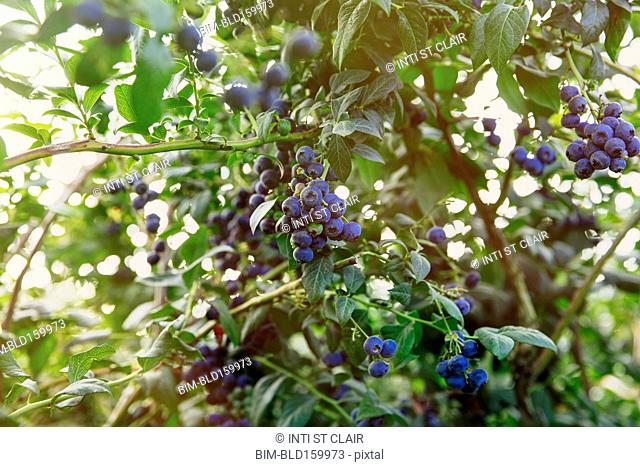 Close up of blueberries growing