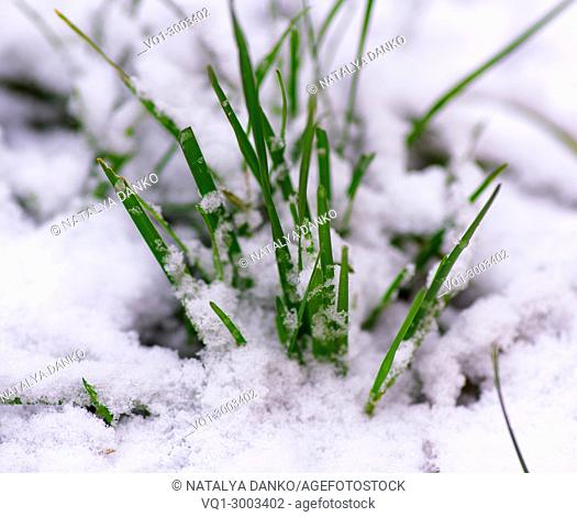 sprouted green grass through white snow, a winter day