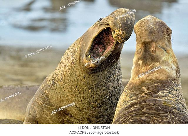 Northern elephant seal (Mirounga angustirostris) Males engaged in breeding territory fight at breeding rookery , San Simeon, Piedras Blancas Rookery, California