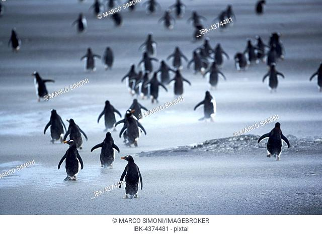 Gentoo Penguins (Pygoscelis papua) walking through a sandstorm, Sea Lion Island, Falkland Islands, South Atlantic