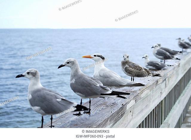 USA, Florida, Key West, Row of seagulls sitting on wooden railings
