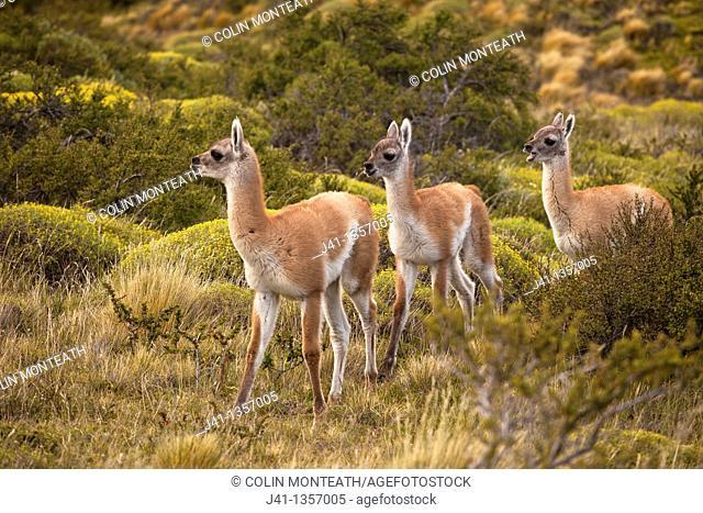 Guanaco Lama guanicoe youngsters, Parque Nacional Torres del Paine, Patagonia, Chile
