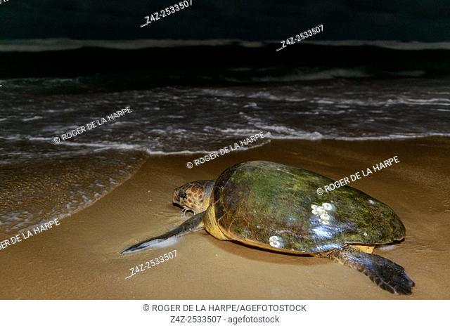 Loggerhead sea turtle (Caretta caretta) returning to the sea after nesting (laying eggs). iSimangaliso Wetland Park (Greater St Lucia Wetland Park)