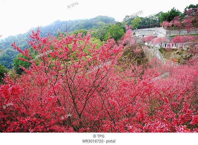 Miaoli,Xie Yun Gong,Yamazakura,wild cherry blossom,blossom