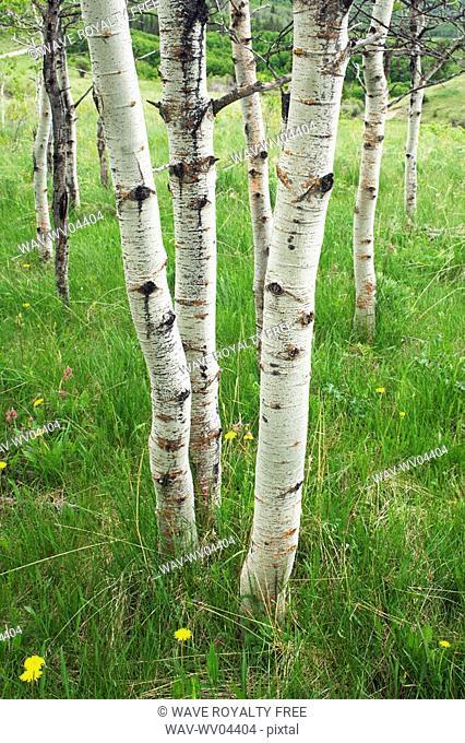 Aspen forest Populus tremuloides in the Porcupine Hills near Maycroft, Alberta, Canada