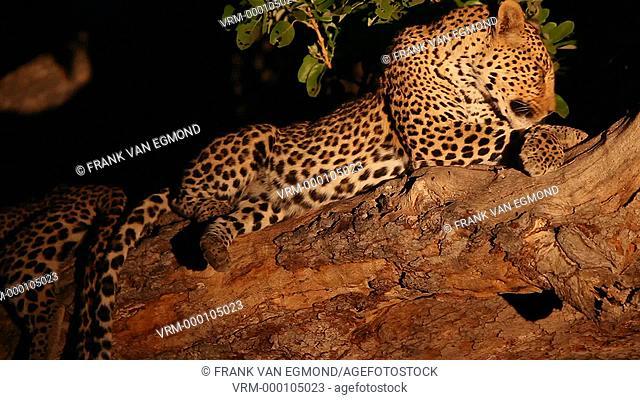 African Leopard Panthera Pardus Parudus grooming. Mashatu, Botswana