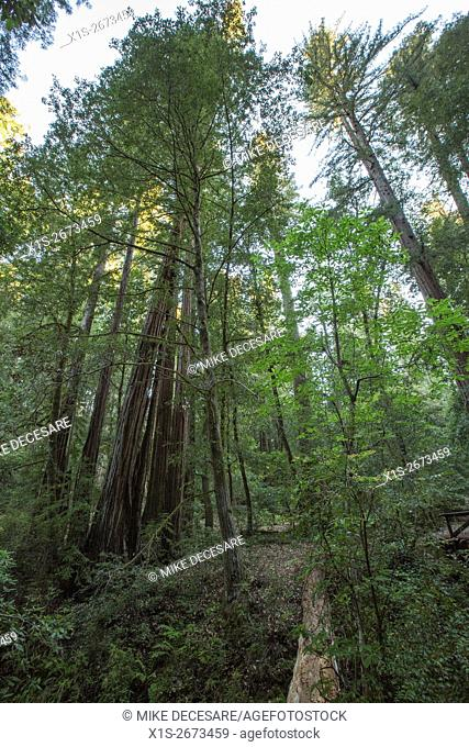 The tall trees in a Redwood forest seem to reach for the blue sky above