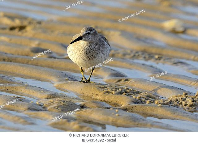 Red Knot (Calidris canutus) walking in mudflat, Cuxhaven, Lower Saxon Wadden Sea National Park, Germany