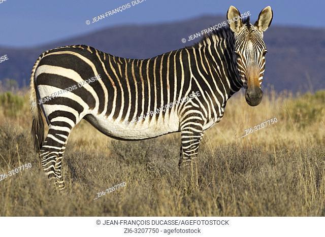 Cape mountain zebra (Equus zebra zebra), adult, standing in open grassland, Mountain Zebra National Park, Eastern Cape, South Africa, Africa