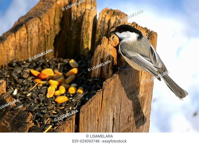 Chickadee going for seeds in wooden post