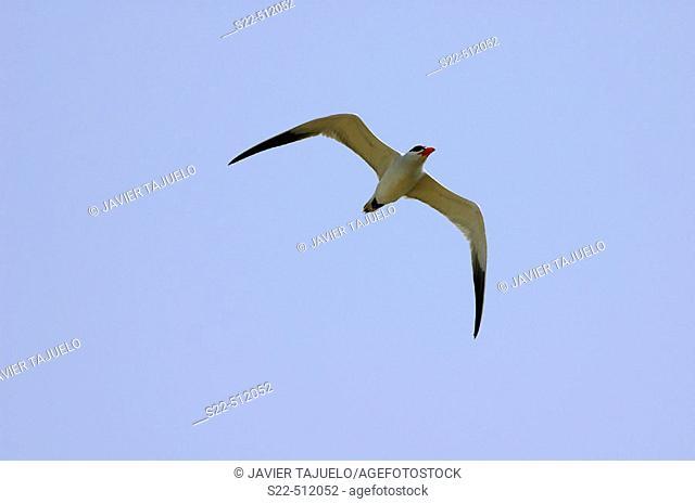 Caspian Tern (Sterna caspia). Gambia