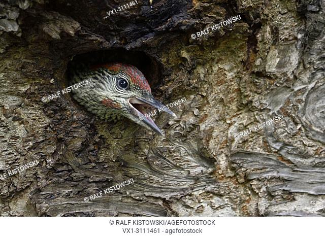 Green Woodpecker / Grünspecht ( Picus viridis ), juvenile, chick, young looking out of its nest hole, Europe