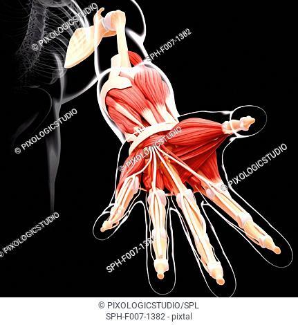 Human arm musculature, computer artwork