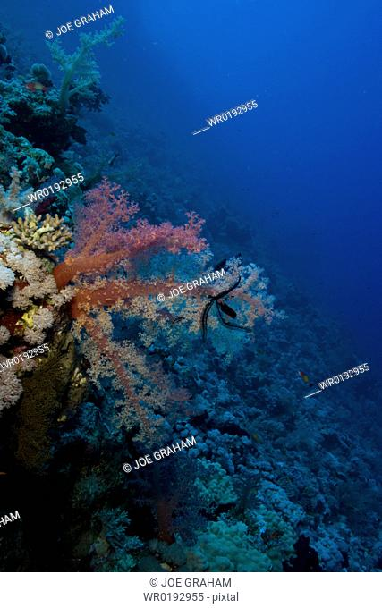 Dendronephthya hemprichi holding a featherstar in it's arms on a deep reef wall Red Sea Egypt