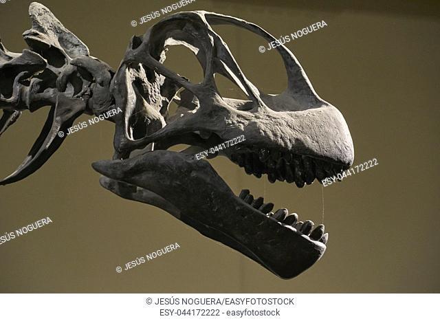 Dinosaur skull in the museum