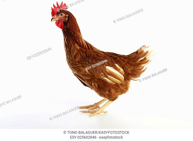Brown hybrid hen isolated on white background