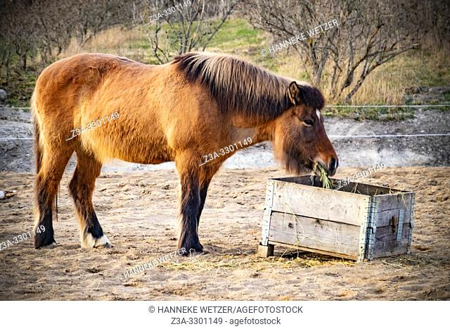Horse eating hay in Sweden