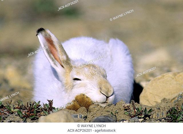 Snoozing arctic hare Lepus arcticus in summer pelage, Ellesmere Island, Nunavut, High Arctic Canada