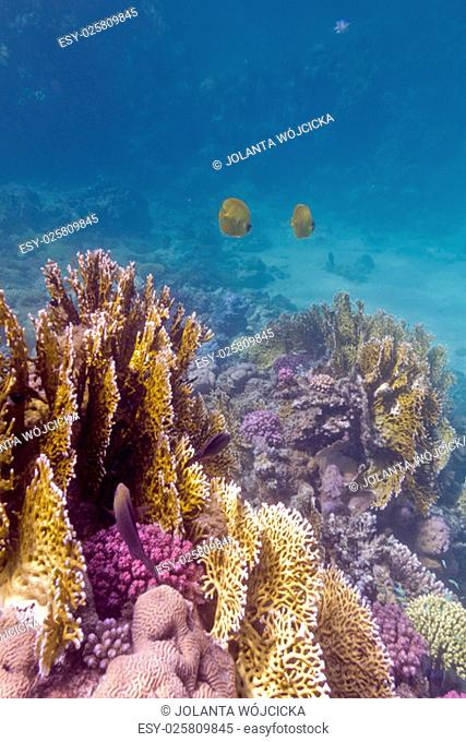 coral reef with exotic fishes butterflyfishes on the bottom of tropical sea