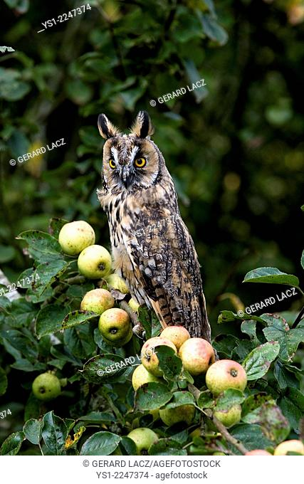 Long-Eared Owl, asio otus, standing on Apple Tree, Normandy