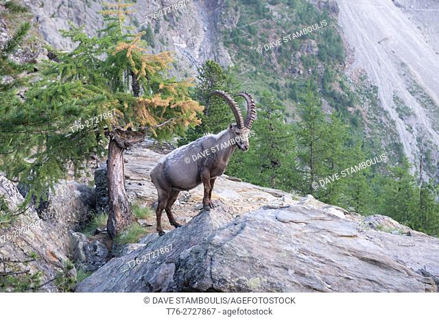 Wild alpine ibex (steinbock) along the Europaweg near Zermatt, Switzerland