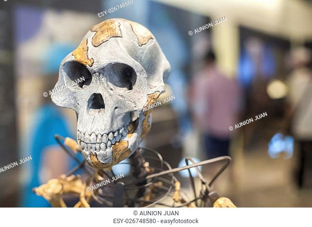 Madrid, Spain - July 11, 2016: Lucy skeleton, a female of the hominin species Australopithecus afarensis at National Archeological Museum of Madrid