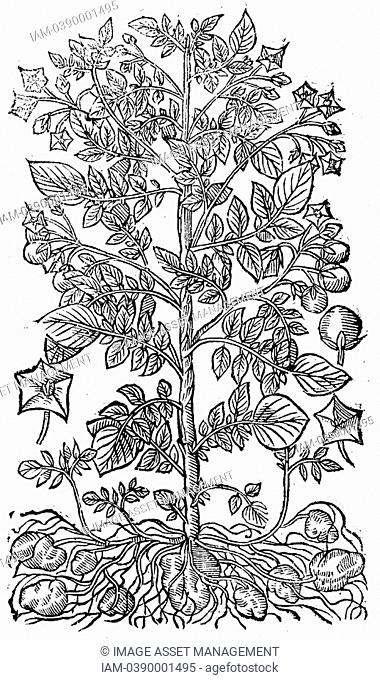 The Potato Solanum tuberosum Native to South America, introduced into Europe 16th century, major food crop by end of 17th century  Woodcut showing Foliage
