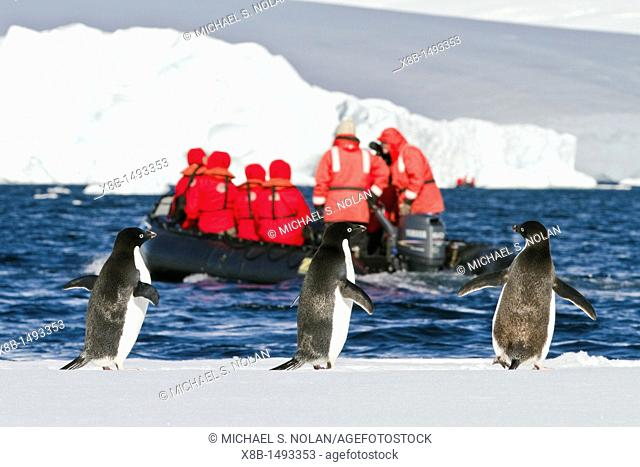 Adélie penguins Pygoscelis adeliae on ice with Lindblad guests, Antarctica  MORE INFO The Adélie penguin is one of the southernmost breeding seabirds in all of...