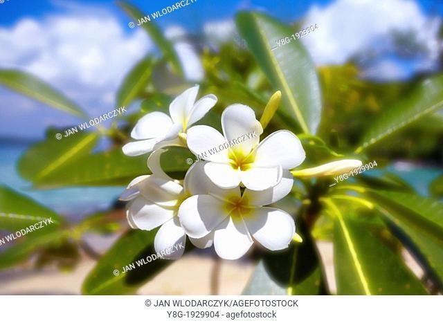 Thailand Jasmine Flower, asian plant, Thailand, Asia
